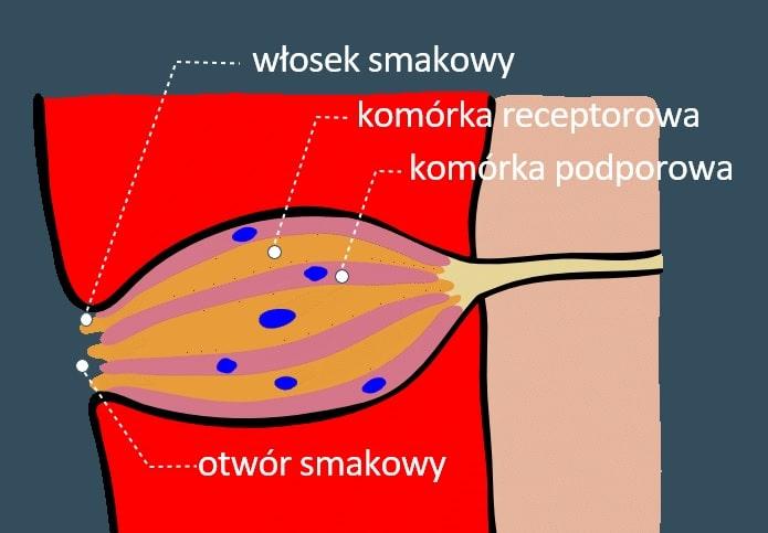 kubek smakowy