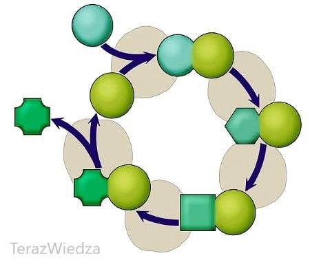 cykl metaboliczny