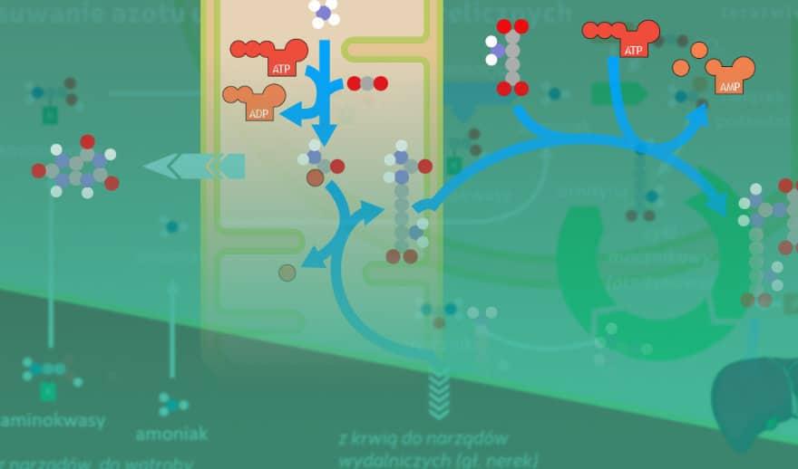 Grafika wyróżniająca do wpisu Aktualizacja lekcji 10. w kursie: Metabolizm